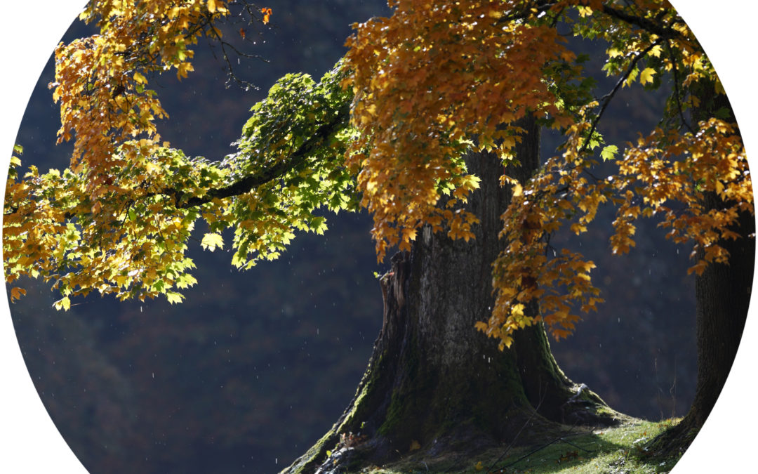 Big Leaf Maple Level